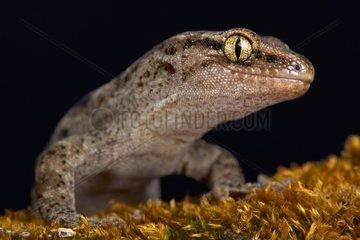 Canterbury gecko (Woodworthia brunneus) small form  New Zealand