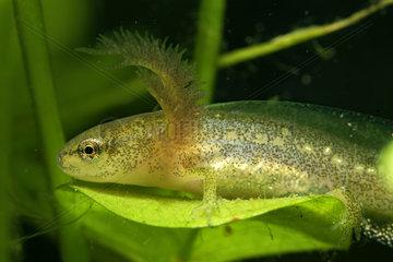 Palmated Newt larva (Lissotriton helveticus) in a pond  Prairies du Fouzon  Loir-et-Cher  France