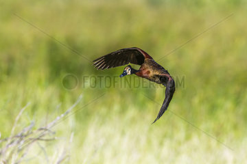 White faced Whistling-Duck (Dendrocygna viduata) in Mapungubwe National park  South Africa.