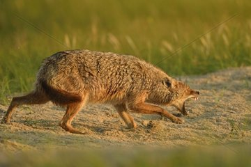 European jackal (Canis aureus moreoticus)  Danube Delta  Romania