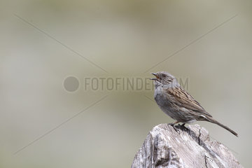 Dunnock (Prunella modularis) singing on a stump to mark its territory  Normandy  France