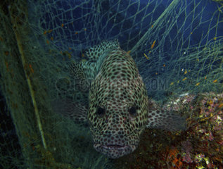 Grouper  Epinephelus areolatus  traped in ghost net. Composite image. Portugal;. Composite image