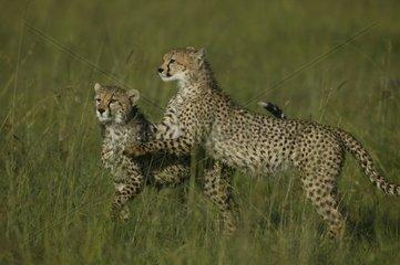 Jeune Guépard invitant son frère distrait à jouer Masaï Mara