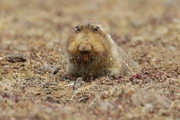 Big-headed mole rat (Tachyoryctes macrocephalus)  Bale Mountains  Ethiopia