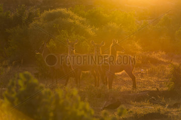 Waterbuck (Kobus ellipsiprymnus) Group in the sunsuet light  Mapungubwe national Park  South Africa