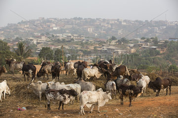 Cattle market Cows and bull sold in Yaounde  Cameroon