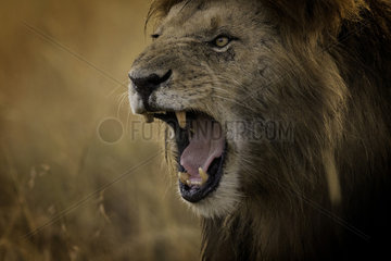 A dominant Lion (Panthera leo) snarls in the Maasai Mara  Kenya. Thick haze shrouding the horizon lead to some deep golden colours in the valley  as two male Lions walked through the long grass after feasting on a Hippo overnight.