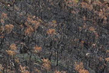 Niaouli Savanna (Melaleuca quinquenervia) after fire  Gohapin Tribe  Central Range  New Caledonia.
