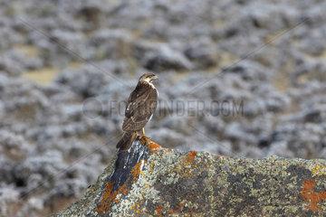 Augur Buzzard (Buteo augur) immature clear phase on rock  Bale Mountains  Ethiopia