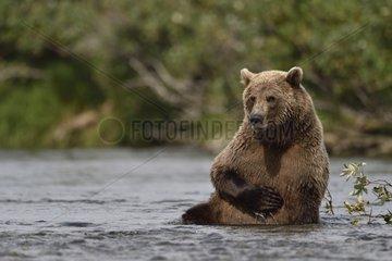 Grizzly sitting in a river - Katmai Alaska USA