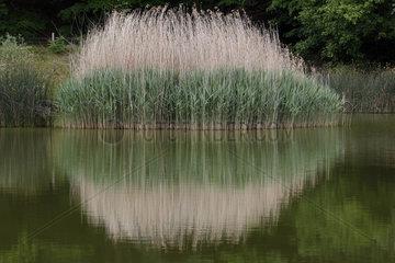 Common Reed (Phragmites australis) on the pond of Meudon  Ile-de-France  France