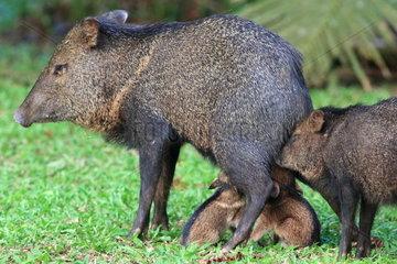 Collared peccary (Pecari tajacu) female breastfeeding her young  Costa Rica