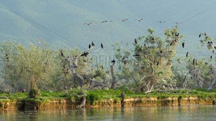 Great Cormorants (Phalacrocorax carbo) in a breeding colony  Lake Kerkini  Central Macedonia  Greece
