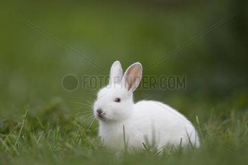 Rabbit (Oryctolagus cuniculus) juvenile albino  Burgundy  France
