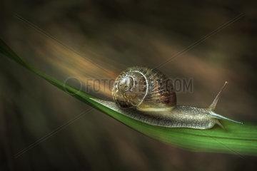 Turbo snail  Parma  Italy