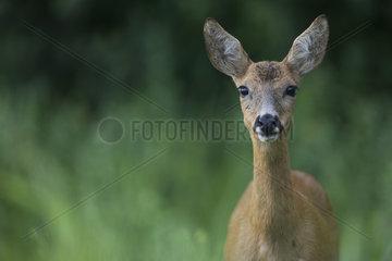 Roe deer (Capreolus capreolus) Female  Burgundy  France