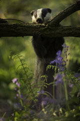 A European Badger (Meles meles) strips the bark off an Elder tree in the Peak District National Park  UK.