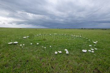 Fairy ring after the rain  Masai-Mara Reserve  Kenya