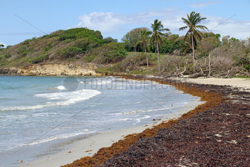 Stranding of Sargasso on the beach of Saint Felix  commune of Gosier  Guadeloupe  French West Indies  May 2018