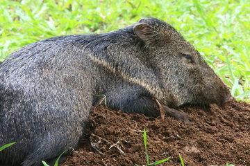 Collared peccary (Pecari tajacu) at rest  Costa Rica