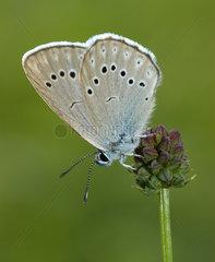 Scarce Large Blue (Maculinea teleius) laying eggs  Vosges du Nord Regional Nature Park  France