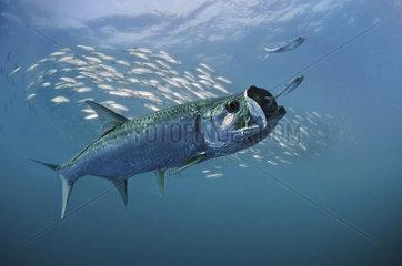 Atlantic tarpon  Megalops atlanticus. Chasing sardines. Tarpon is capable of breath air using swim bladder like a primitive lung. Composite image. Portugal. Composite image