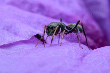 A female ant-mimicking jumping spider (Myrmarachne cornuta) on purple flower petal.