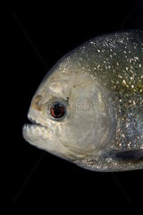 Red piranha  Pygocentrus nattereri. Two images overlap: one from live fish head and another from clean skull. Note dentition. Portugal. Composite image