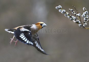 Hawfinch (Coccothraustes coccothraustes) in flight  Regional Natural Park of Northern Vosges  France