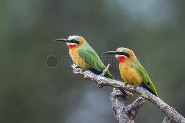 White fronted Bee eater (Merops bullockoides) in Mapungubwe National park  South Africa.