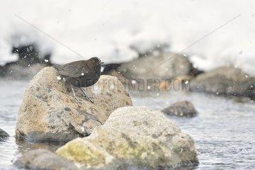 Brown Dipper (Cinclus pallasii) on a rock in winter  Hokkaido  Japan
