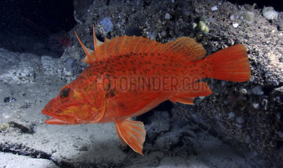 Pontinus kuhlii  Offshore rockfish. Composite image. Portugal.. Composite image