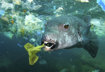 Stellate puffer (Arothron stellatus) eating a plastic bottle. Philippines - Composite image. Composite image