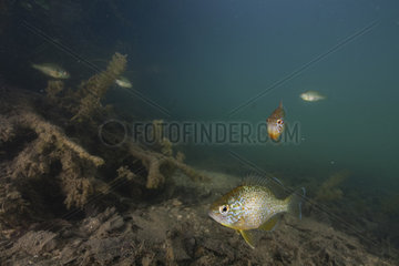 Pumpkinseed Sunfish (Lepomis gibbosus) Introduced in France  Aube  Grand Est  France