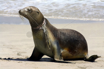 California sea lion (Zalophus californianus) with nylon strings wrapped around his neck that caused him a deep wound. USA