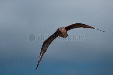 Great skua (Stercorarius skua) in flight  Runde island  Norway