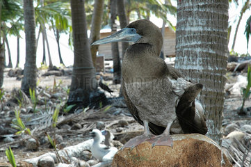 Eastern Red-footed Booby (Sula sula websteri) on Clipperton Atoll (2005 expedition)