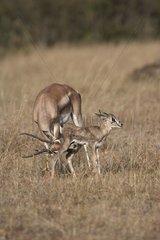 Female Grant's Gazelle with its newborn faw Masai Mara Kenya