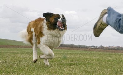 Saint Bernard Dog running behind a person France