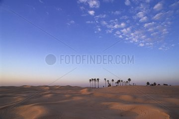 Palm Trees in the dunes of southern Tunisia desert Douz