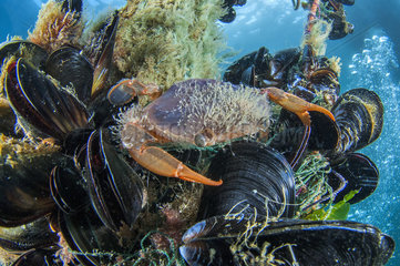 Henslow's swimming crab (Polybius henslowi) Mediterranean mussel (Mytilus galloprovincialis)  Morocco