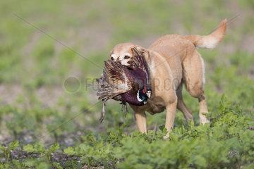 Labrador female with a Common Pheasant (Phasianus colchicus)  Bas Rhin  France