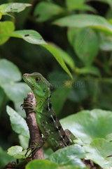 Green Basilisk (Basiliscus plumifrons)  Costa Rica