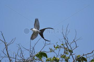 Fork-tailed Flycatcher (Tyrannus savana) in flight  Pantanal  Brazil