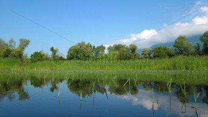 Spring reed in Lake Kerkini  Central Macedonia  Greece