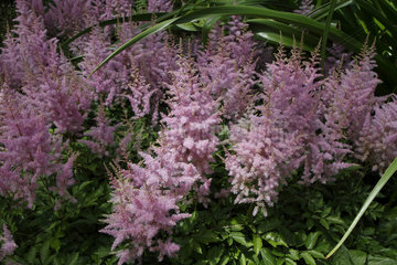 Astilbe x arendsii 'Hyacinth' at the Parc Floral de Paris  France