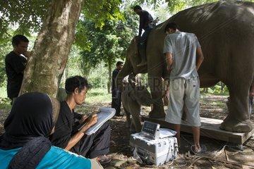 Weighing Elephant Sumatra Aceh Sumatra