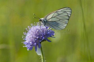 Black-veined White on Scabiosa flower in hayfield France