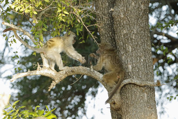 Chacma baboon (Papio ursinus) and Green monkey (Chlorocebus aethiops)  Fear and curiosity during the unannounced encounter between a young baboon and a young vervet  Kruger  South Africa