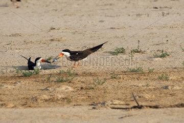 Black Skimmer (Rynchops niger) gift before mating  Pantanal  Brazil